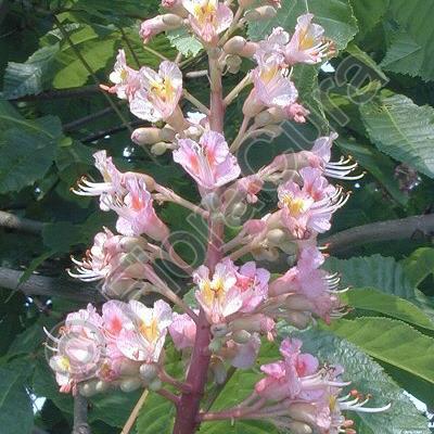Bachblüten-Bilder von FloraCura