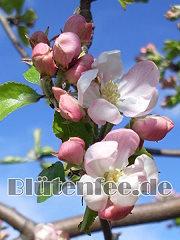 Blütenfee Klassische Blütenessenz