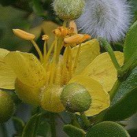 Bilder der Kalifornischen Essenzen Pflanzen