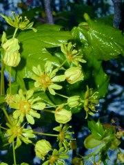 Blütenfee Baum-Essenzen